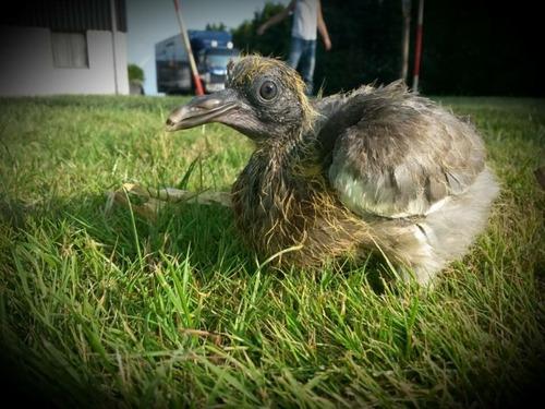 baby-pigeons.jpg