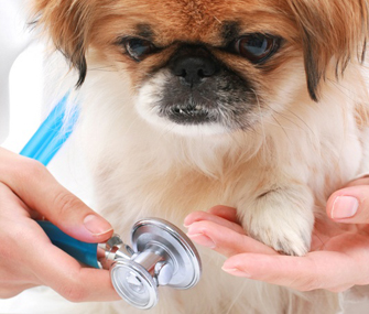 little dog being examined by vet.jpg