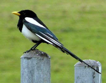 Magpie-4-Yellow-Billed.jpg