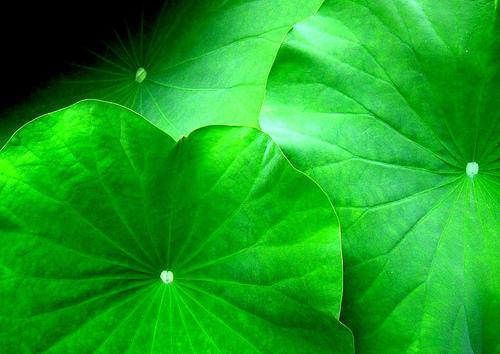 Lotus leaves.jpg