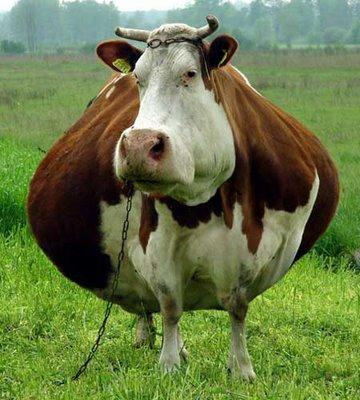 fat-cow.jpg