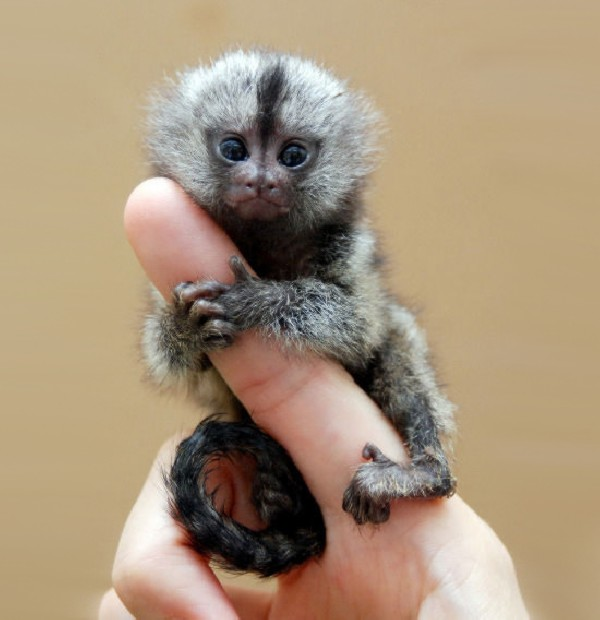 Finger-Monkey.jpg